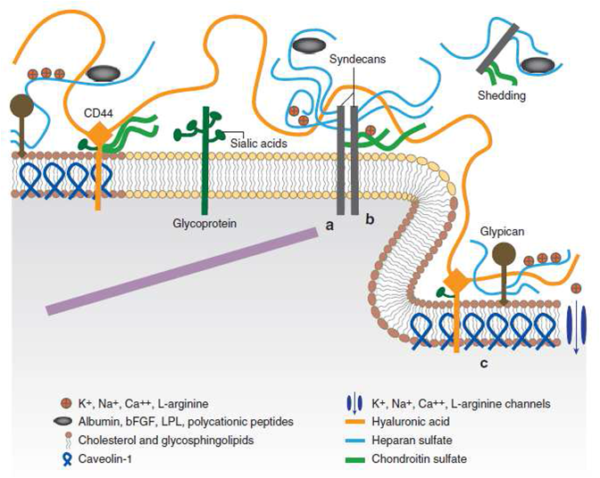 Figure 4. Schematic diagram showing the components and partial organization of the endothelial glycocalyx layer. All components are labeled on the diagram. (Figure adapted from Tarbell and Pahakis, 2006)