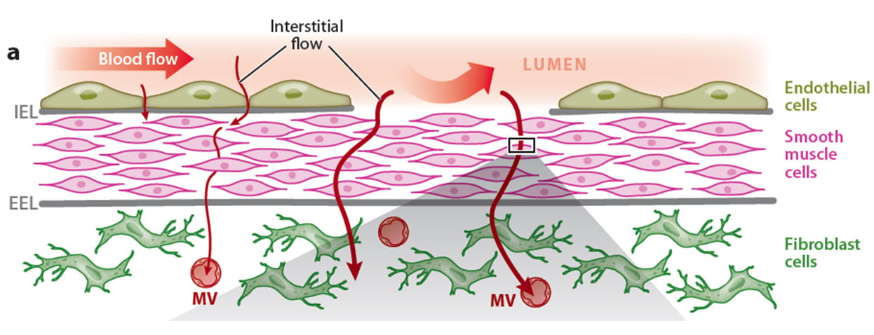 Figure 1. Schematic diagrams showing interstitial flow across an artery wall exposing smooth muscle cells and fibroblasts to fluid shear stress (top), and across a tumor microvessel exposing tumor cells to fluid shear stress (bottom).