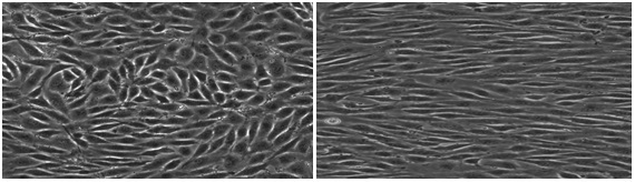 Figure 2. Remodeling of Endothelial Cells in Culture. Left Panel –static culture (no flow). Right Panel – Cultured cells exposed to 10 dyn/cm2 for 24 hrs (flow is from left to right).