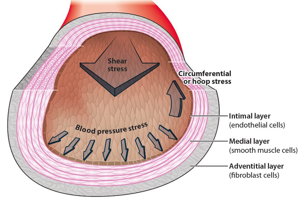 Figure 1. The arterial wall consists of three layers: the innermost layer that contacts blood (intimal layer) consists of a lining layer of endothelial cells and a thin basement matrix for endothelial attachment; the medial region is next, containing layers of smooth muscle cells (SMCs) that are separated by elastic lamina; the adventitial layer is outermost – containing fibroblasts embedded in loose connective tissue. The forces (stresses) acting on artery wall are the normal stress of blood pressure that is balanced by the circumferential stress in the wall and the fluid shear stress that is tangential to the endothelial cell surface. (from Tarbell et al. Ann. Rev. Fluid Mechanics 2014)
