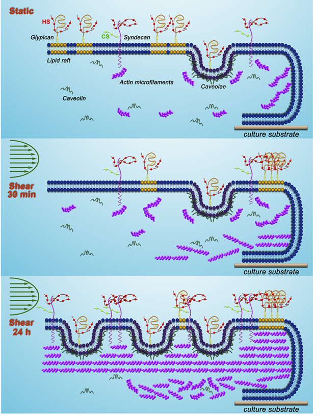 Figure 3. The mobility of proteoglycans (glypican-1 and syndecan-1) and membrane rafts (caveolae and lipid rafts) in response to varying timescales of shear stress exposure. (Zeng et al. 2014)